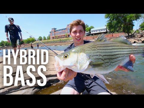 River Fishing For Hybrid Bass -- Ft. DALLMYD