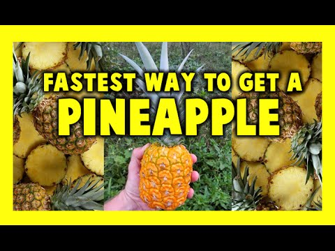 How to Grow Pineapple  ► Fast  Growing Pineapples