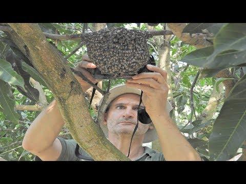 Sustainable harvesting honey on apis florea | apis florea beekeeping(dwarf bee)
