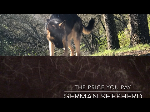Do German Shepherds Shed? Excessive Hair Shedding Ugly Truth! So you want a GSD - The Price You Pay