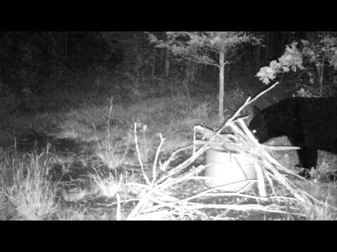 Trail cam footage