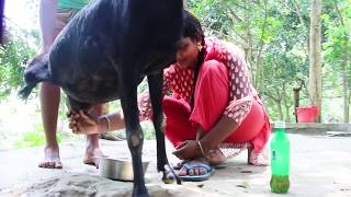 Goat Milk | Beautiful girl | Goat milk out of the breast | Dorojati Kholo