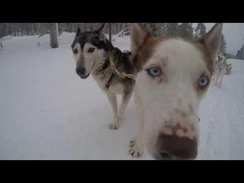 Dog Sled Mania