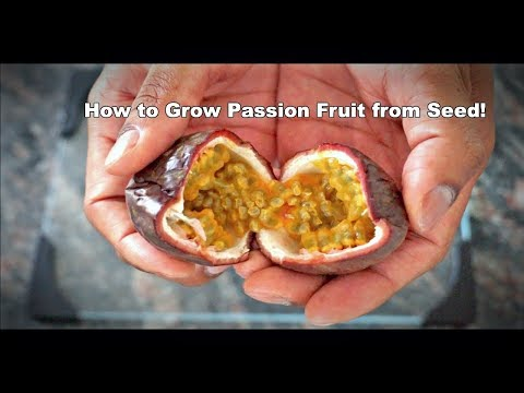 How to Grow Passion Fruit from Seed!