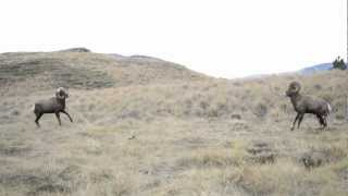 Download Bighorn Rams Head Butting Video