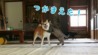 Download 好敵手を得た犬と猫の全力鬼ごっこ Dog and Cat Playing Tag Video