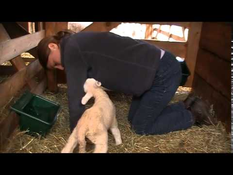 How to get a newborn lamb to drink from a bottle