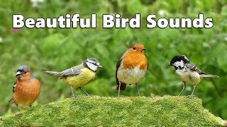 Bird Sounds in An English Forest : ONE HOUR - 鳥の音