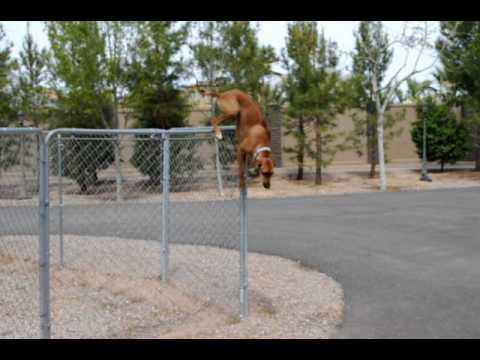 Ridegeback Puppy Jumps Fence