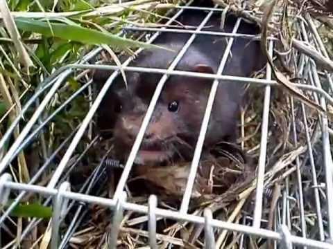 Irish American mink in a fix