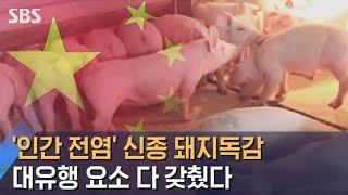 인간도 감염되는 돼지독감, '대유행 요소' 다 갖췄다 / SBS