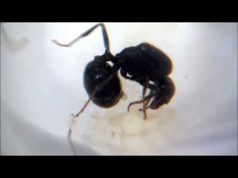 Queen ant laying an egg
