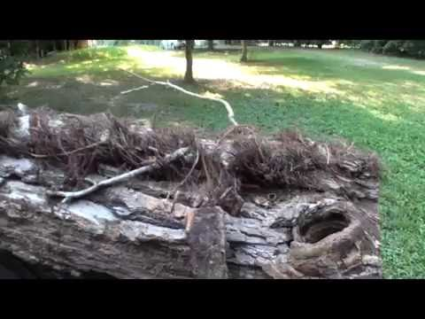 20+ YEAR super size poison ivy, virginia creeper, kills your trees, education