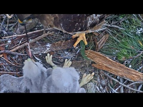 Presidio Red-Tailed Hawk Cam ~ Tug-O-Tail ~ Mom Tries To Pull Tail From Youngest Beak 4.25.18