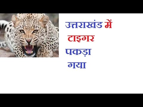 Animal video I tiger caught by forest team