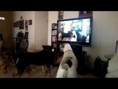 Dogs barking at themselves on tv
