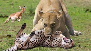 WORLD'S FASTEST ANIMALS FAIL | Lion Save Impala From Cheetah Hunting – Leopard Ambush Impala On Tree