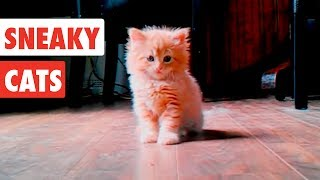 Sneaky Cats| Funny Cat Video Compilation 2017