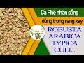 Download  Cà Phê Nhân Sống Các Loại đều Có Trong Video Này|robusta|arabica Cầu Đất|typica|culi MP3,3GP,MP4