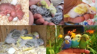 Budgerigar Breeding and fostering in caze   Aviary bird projects
