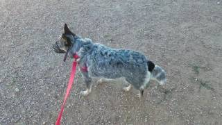 Blue Heeler, Dog Aggression, Human Aggression, First Day