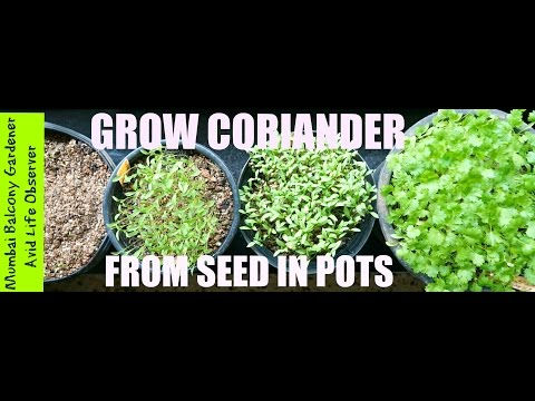 How To Grow Coriander In Small Pots In 3-4 Hours Sun In A Small Garden