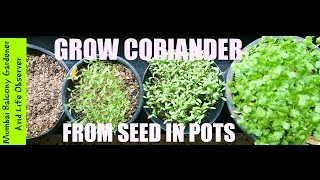 How To Grow Coriander In Small Pots In 3 4 Hours Sun In A Small Garden