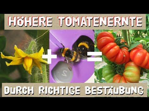 Höhere Tomatenernte durch richtige Bestäubung