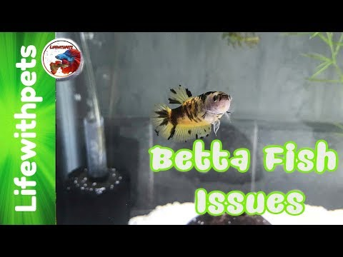 Sick Betta Fish