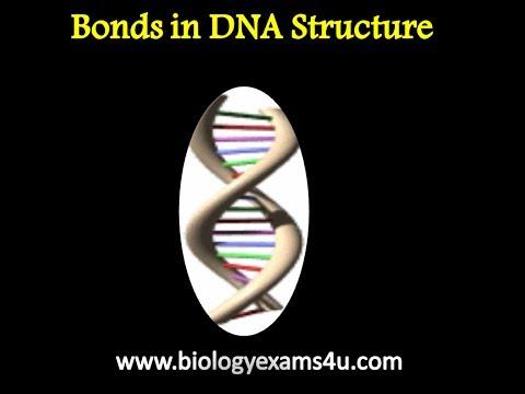 Bonds in DNA Structure