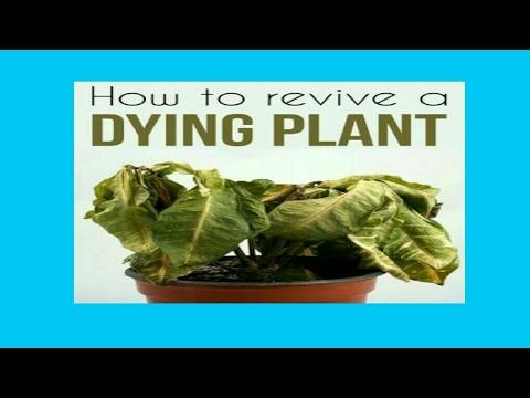 मरते हुऐ पौधे को कैसे बचाऐं || how to revive a dying plant