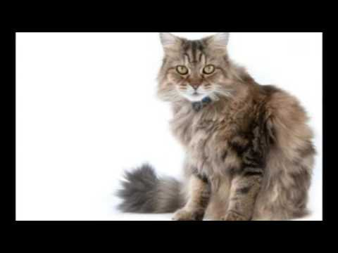 Care for Cats - Ringworm in Cats - Cat Tips