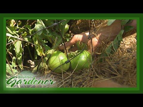 Mulch Benefits in the Organic Vegetable Garden | Volunteer Gardener