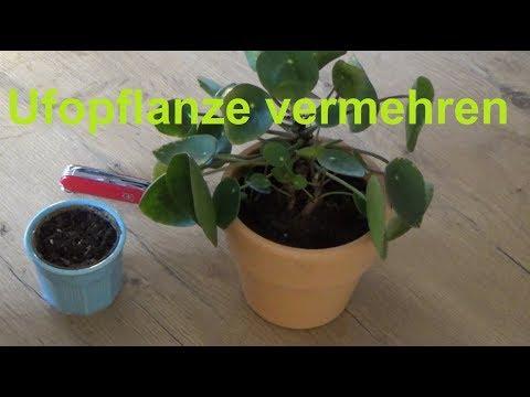 Ufopflanze vermehren Ableger machen Stecklinge Pilea peperomioides