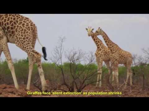 Giraffes face 'silent extinction' as population shrinks nearly 40 percent