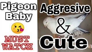 Pigeon Baby    Aggresive    Cute    Lovely    By M D Birds