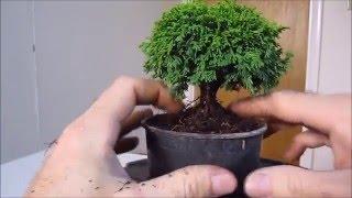 How To Make a Bonsai Tree From a Nursery Stock Tsukumo