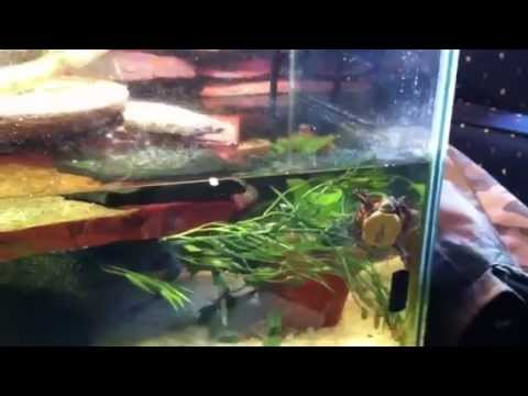 Painted, Spotted, Map & Musk Turtles in the 55 Gallon Tank