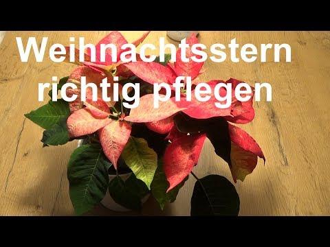 Weihnachtsstern Pflege Euphorbia pulcherrima pflegen Tipps