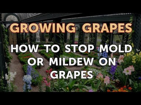 How to Stop Mold or Mildew on Grapes