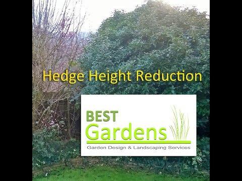 Garden Hedge Height Reduction