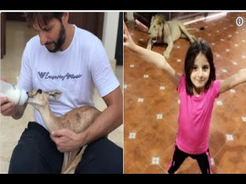 Twitter Asks If Shahid Afridi Has A Pet Lion | ABP News