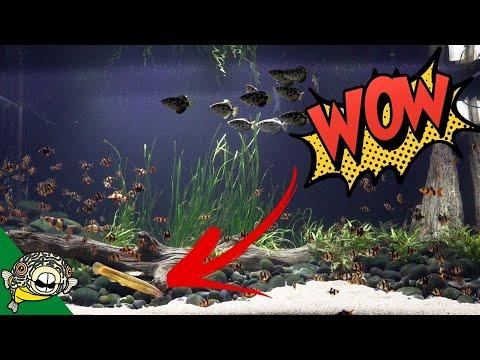 Dojo Loach Full Grown in the 800 Gallon Aquarium