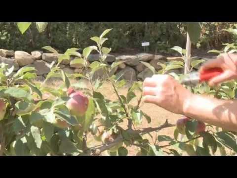 Pruning an espalier apple