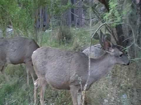 Mule Deer at Bright Angel Campground- Grand Canyon