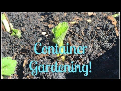 Strawberry Container Gardening