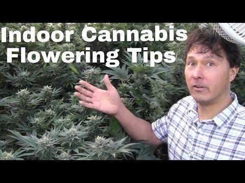 Indoor Cannabis Flowering Tips to Grow Dense Buds & Prevent Mildew