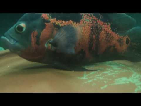 Oscar Fish - Breeding - Laying Eggs - Breeding Tank Setup - Male and Female