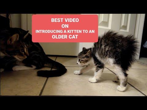 Introducing a kitten to an older cat