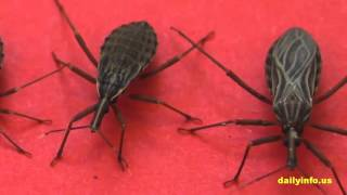 Beware Of Deadly Kissing Bug Already Spread Everywhere